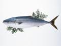 更新日:9月 30日  北海道 厚岸産 新秋刀魚 入荷いたしました。 鮮度抜群です!!  刺身で食べれますよ。